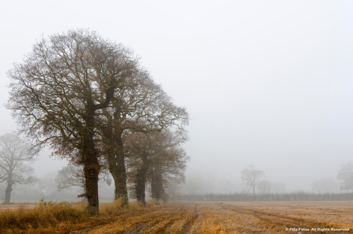 Oak Trees in the Mist