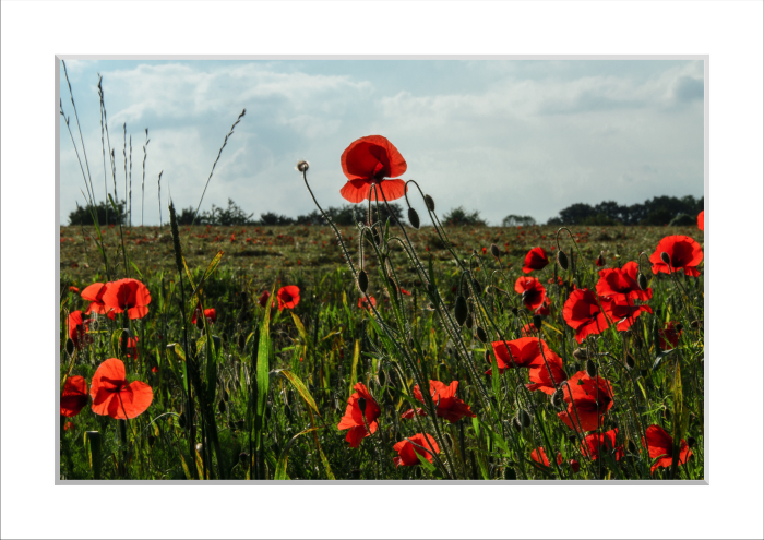 Mounted print of Poppies, 2014