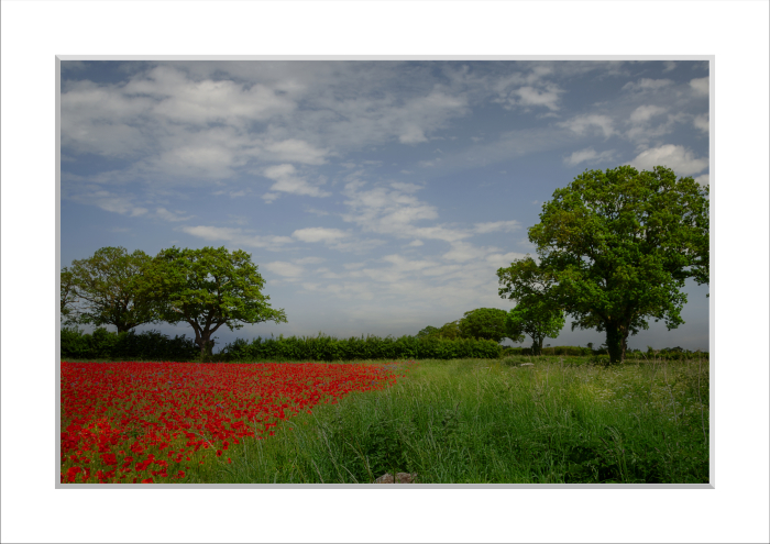 Mounted Print of Poppies in a Field (near Attleborough) 2