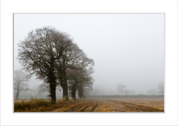 Mounted print of Oak Trees in the Mist