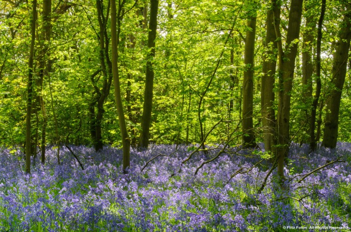 Bluebells in Buckenham Wood
