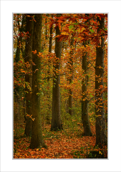 Mounted Print of Beech Wood in Autumn
