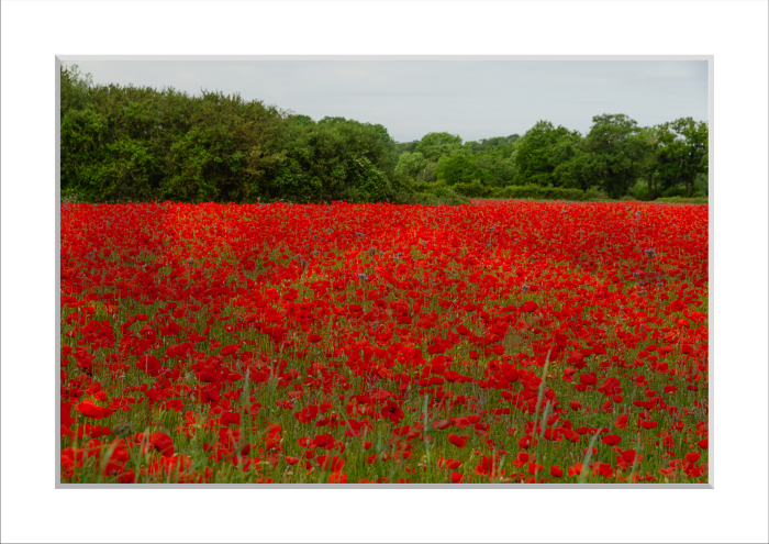 Mounted Print of Poppies in a Field (near Attleborough) 1