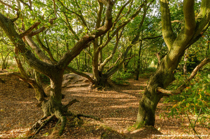 Oak Trees on Mousehold Heath