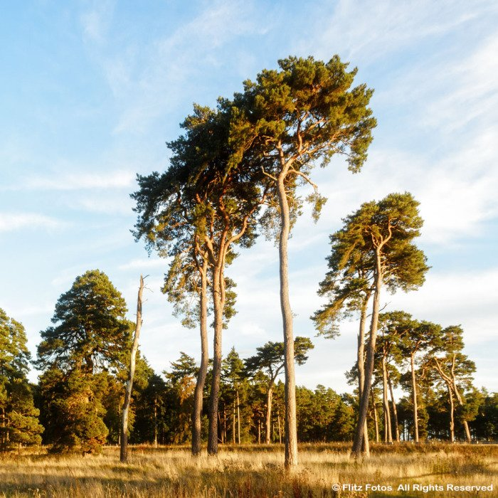 Scots Pines near Elveden Memorial, Suffolk 2